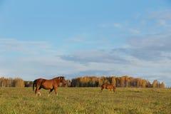 Los caballos pastan en un prado del otoño Imagenes de archivo