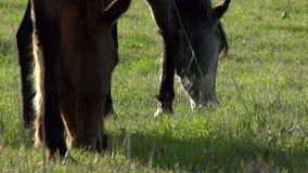 Los caballos pastan HD almacen de video
