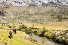 Los caballos pastan a lo largo de una corriente en el parque nacional de Huascaran imagen de archivo