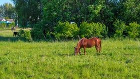 Los caballos que pastan son pasto verde Fotos de archivo libres de regalías