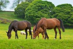 Los caballos que pastan son pasto verde. Fotografía de archivo