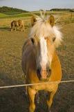 Los caballos que se colocan en una cara verde del país colocan Imágenes de archivo libres de regalías