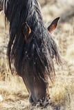 El caballo salvaje que pastaba con la semilla de la mala hierba cubrió la melena Fotos de archivo