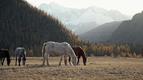 Los caballos salvajes caminan y comen la hierba en día claro: rayos y montañas del ` s del sol almacen de metraje de vídeo