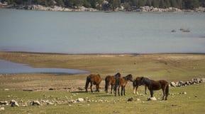 Los caballos salvajes están corriendo fotos de archivo libres de regalías