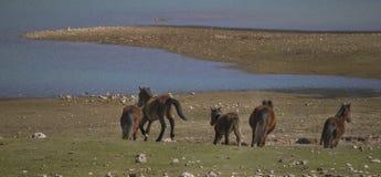 Los caballos salvajes están corriendo foto de archivo