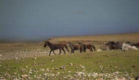 Los caballos salvajes están corriendo fotografía de archivo libre de regalías