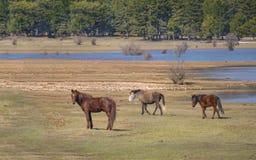 Los caballos salvajes están corriendo imágenes de archivo libres de regalías