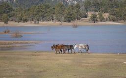Los caballos salvajes están corriendo fotos de archivo