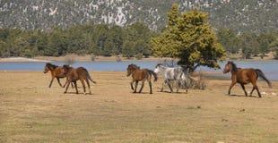 Los caballos salvajes están corriendo imagen de archivo