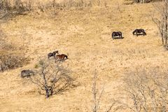 Los caballos salvajes pastan en campo seco del otoño Fotos de archivo libres de regalías