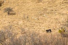 Los caballos salvajes pastan en campo seco del otoño Fotografía de archivo libre de regalías