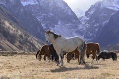 Los caballos salvajes pastan en las montañas nevosas en un otoño soleado imágenes de archivo libres de regalías