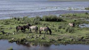 Los caballos salvajes pastan y comen la hierba en el prado en el lago, Letonia almacen de metraje de vídeo