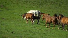 Los caballos y los caballos caminan en una hierba verde Paisaje de la montaña almacen de metraje de vídeo