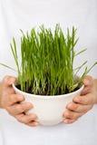 Los cabritos dan la hierba de la explotación agrícola que crece en un tazón de fuente Fotografía de archivo libre de regalías