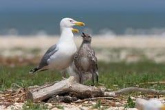 Los cachinnans caspios del Larus del gulsl con el polluelo fotografía de archivo libre de regalías