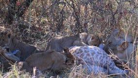 Los cachorros de león intentan comer una jirafa matada por su madre almacen de video
