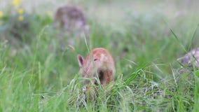 Los cachorros del zorro rojo se sientan en la hierba y después salen del marco Vulpes almacen de video