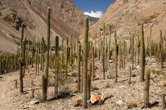 Los cactos se elevan en la barranca Cotahuasi, Perú foto de archivo