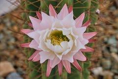 Los cactus florecen en la floración foto de archivo