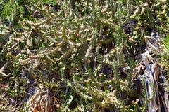 Los cactus florecientes en una cuesta de la colina Foto de archivo libre de regalías