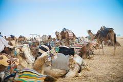 Los camellos árabes o el dromedario también llamaron un camello one-humped en th Imagenes de archivo