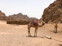 Los camellos resistentes fuertes grandes están descansando en el estacionamiento, en una arena amarilla caliente en el desierto e Fotografía de archivo