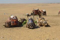 Los camellos se sientan juntos en la meseta de Giza Fotos de archivo