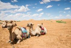 Los camellos tienen un resto en desierto Fotografía de archivo
