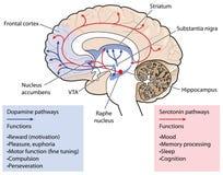 Los caminos de la dopamina y de la serotonina en el cerebro Imagen de archivo