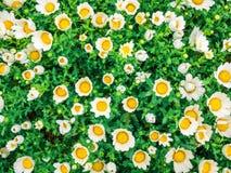 Los camomiles de las flores rematan abajo del campo hermoso de la hierba verde como el fondo en los descensos de rocío coloridos  Fotos de archivo libres de regalías