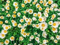 Los camomiles de las flores rematan abajo del campo hermoso de la hierba verde como el fondo en los descensos de rocío coloridos  Foto de archivo
