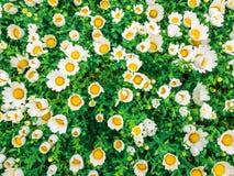 Los camomiles de las flores rematan abajo del campo hermoso de la hierba verde como el fondo en los descensos de rocío coloridos  Imagenes de archivo