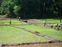 Los campesinos trabajan en campos del arroz en un día de verano soleado imagen de archivo