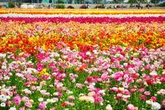 Los campos de flor de Carlsbad Fotografía de archivo