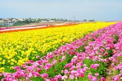 Los campos de flor de Carlsbad Imagen de archivo libre de regalías