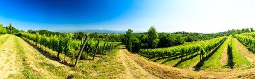 Los campos de Friuli Venezia-Julia cultivados con la vid fotografía de archivo libre de regalías