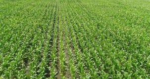 los campos de maíz aéreos de la granja del abejón 4K bajo ayunan adelante almacen de metraje de vídeo