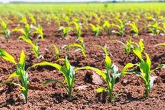 Los campos de maíz brotan en filas en la agricultura de California