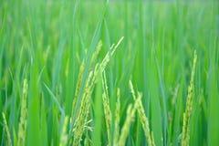 Los campos de oro del arroz Fotos de archivo libres de regalías
