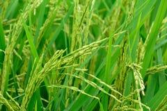 Los campos de oro del arroz Imagenes de archivo