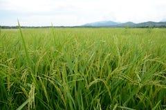 Los campos de oro del arroz Imágenes de archivo libres de regalías