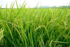 Los campos de oro del arroz Fotos de archivo