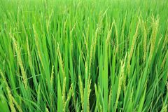 Los campos de oro del arroz Fotografía de archivo libre de regalías