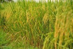 Los campos de oro del arroz Foto de archivo libre de regalías