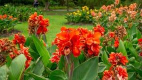 Los campos de pétalos anaranjados del lirio de Canna saben como flor corto indio de la planta o de la flor de Bulsarana en las ho imagen de archivo