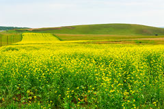 Los campos del amarillo en los prados Imagenes de archivo