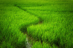 Los campos del arroz Fotos de archivo