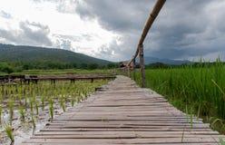 Los campos del arroz acaban de comenzar a crecer foto de archivo